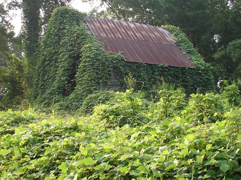 Eating Kudzu – Getting Back at The Vine That Ate the South